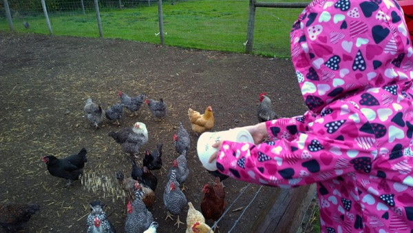Throwing feed to chickens at Anderson Island Family Farm