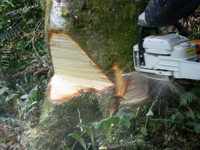 how to notch a tree to cut down