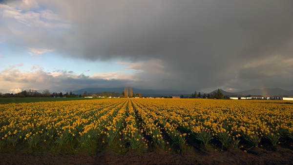 Skagit Valley Tulip Festival near Mt Vernon