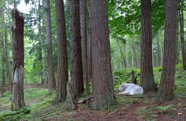 Northwest Trek big horn sheep in forest