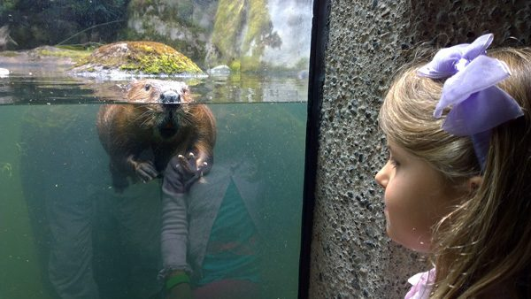 Northwest Trek face to face with beaver